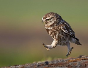 Running Owl